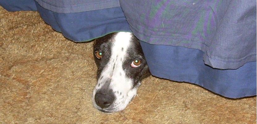 Perro asustado, escondido debajo de la cama.