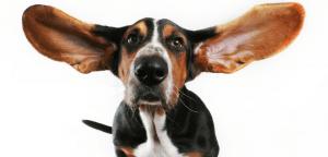 Perro con orejas grandes.