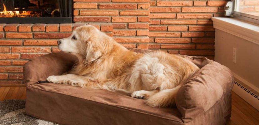 Golden Retriever tumbado en un sofá.