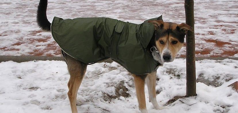 Por qué debemos abrigar al perro en invierno