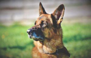 Los perros tienen un oído más sensible