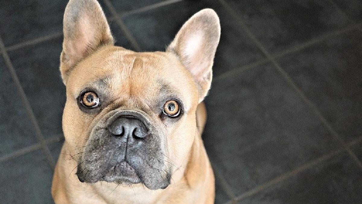 El sentido del oído del perro está muy desarrollado