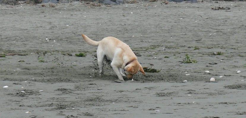 Perro escarbando en la arena.