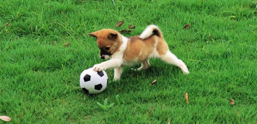 Perro jugando con una pelota.