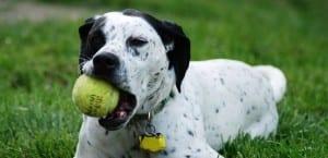 Dálmata mordiendo una pelota.