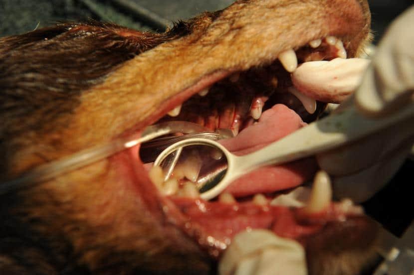 Labios inflamados en perro