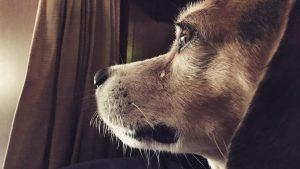 Los perros pueden llorar