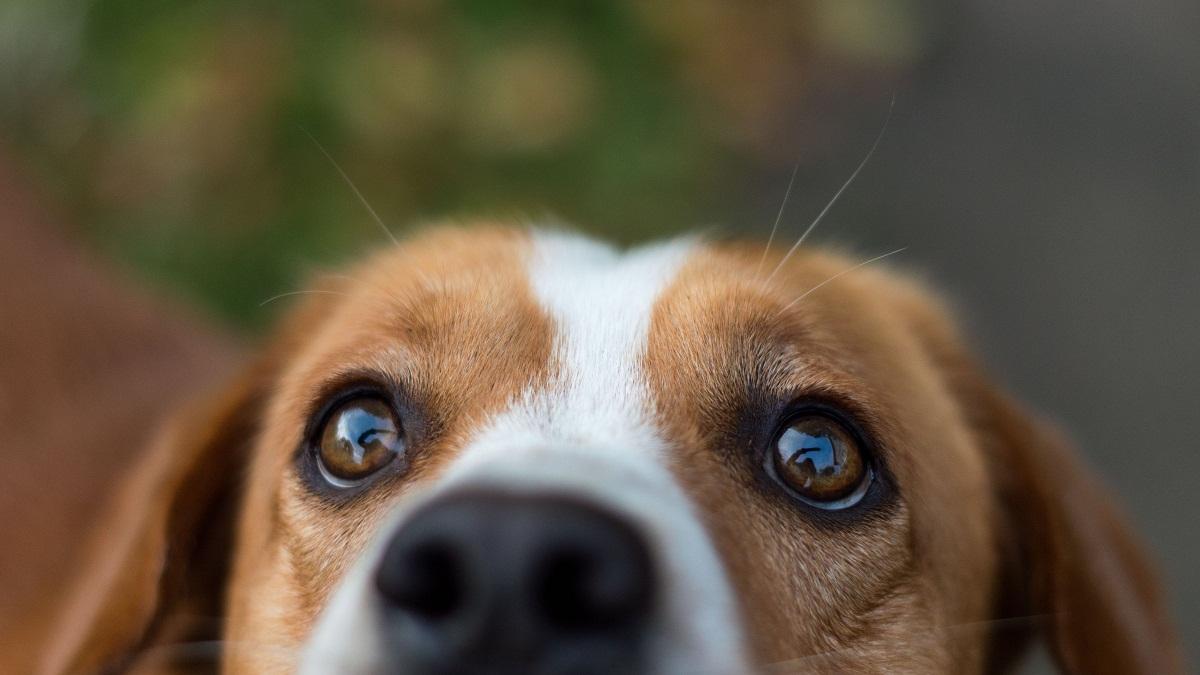 Los perros pueden tener conjuntivitis