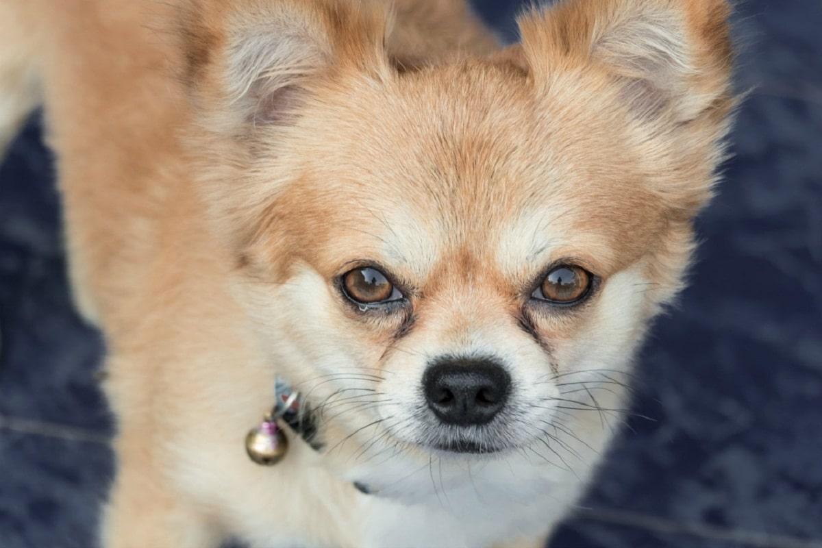 Los ojos de los perros son una parte delicada de su anatomía