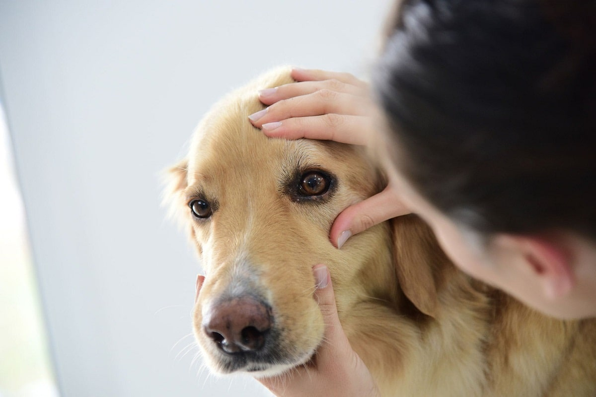 El veterinario debe revisar los ojos de los perros de vez en cuando