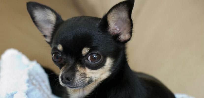Chihuahua negro y blanco.