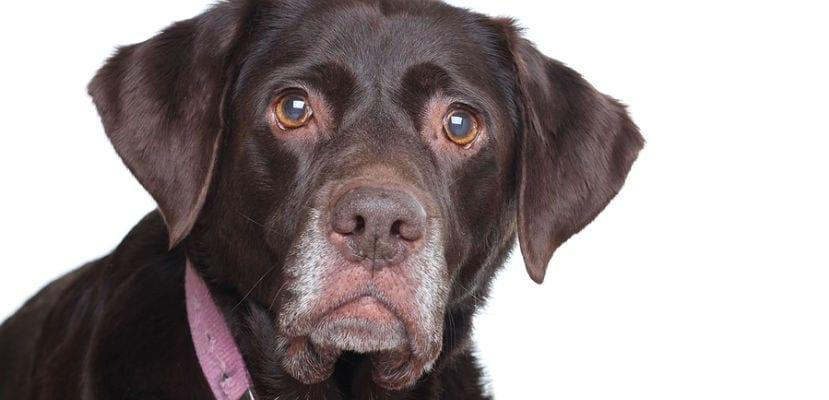 Labrador Retriever negro.
