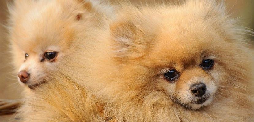 Pomerania, una raza especial