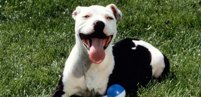 Pitbull blanco y negro en el campo.