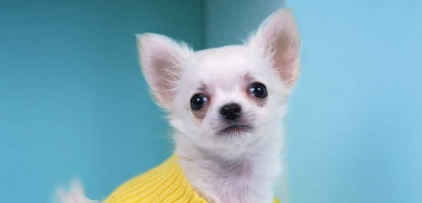 Chihuahua blanco con jersey.