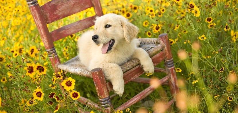 Perros alérgicos al polen