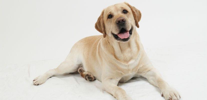 Labrador canela.