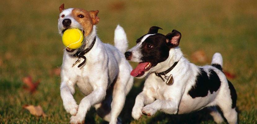 Perros jugando a la pelota en el campo.