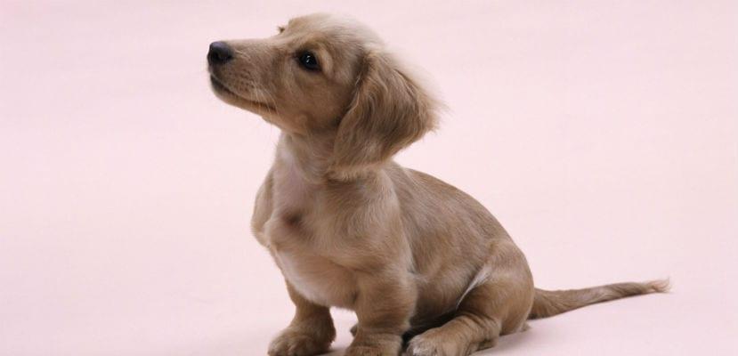 Cachorro de Golden Retriever.