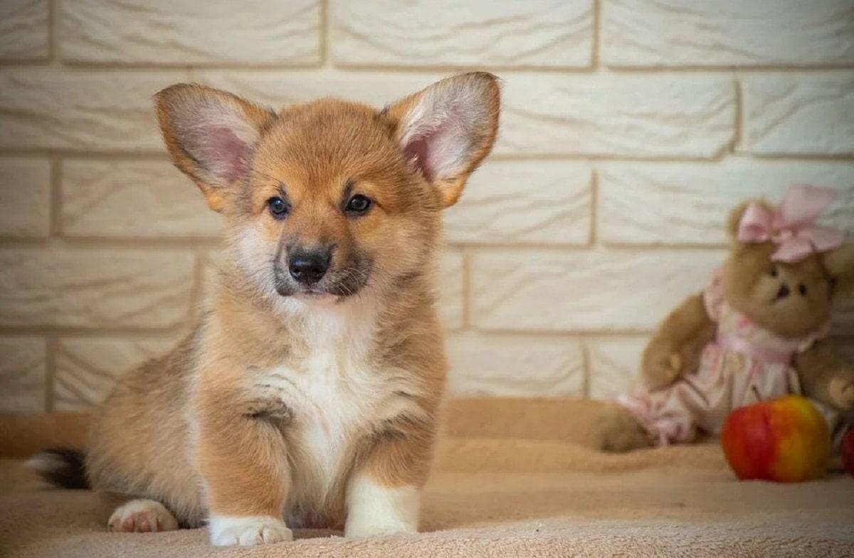 cachorro de perro con orejas muy grandes