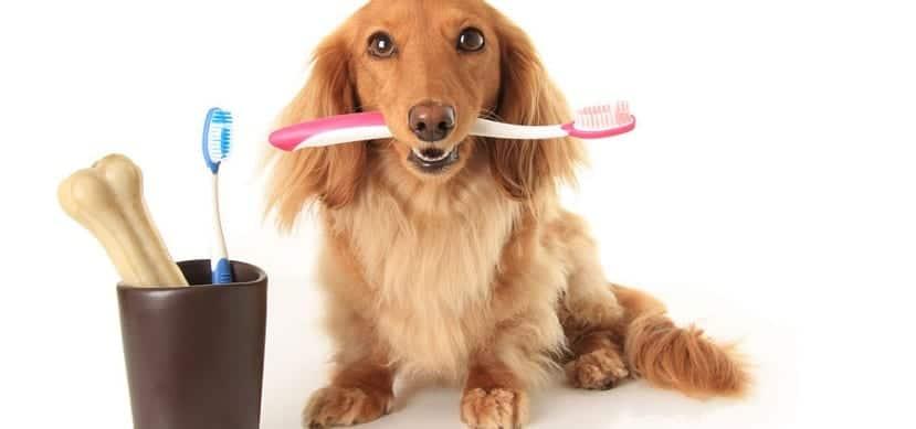Higiene bucal canina