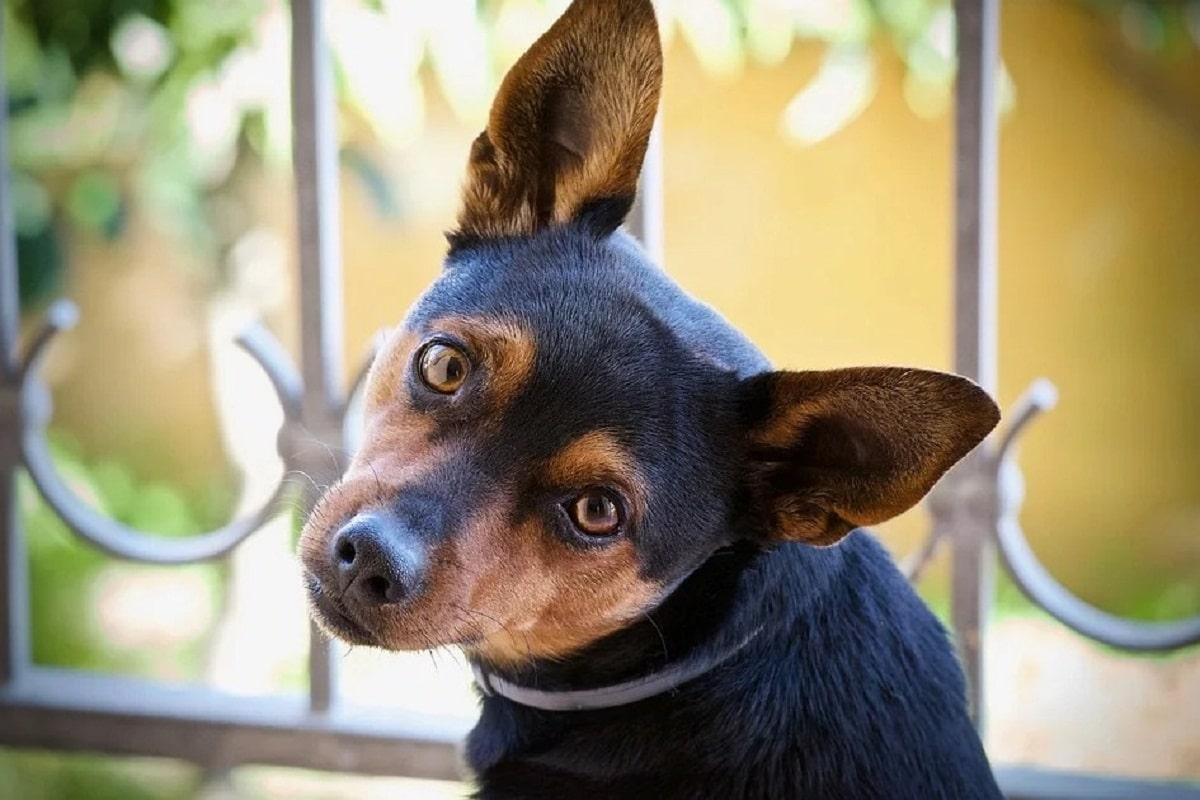 perro de tamano pequeno con las orejas para arriba