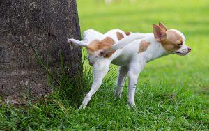 Los perros suelen marcar el territorio