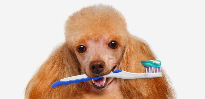 Caniche canela con un cepillo de dientes en la boca.
