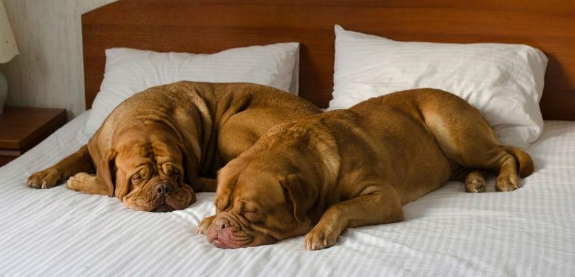 Dos perros durmiendo en la cama de una habitación de hotel.