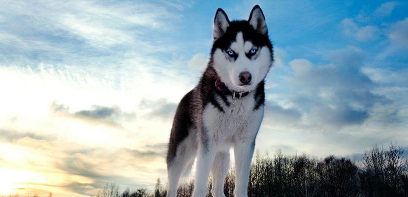Husky Siberiano en la montaña.