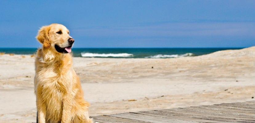 Golden Retriever en la playa.