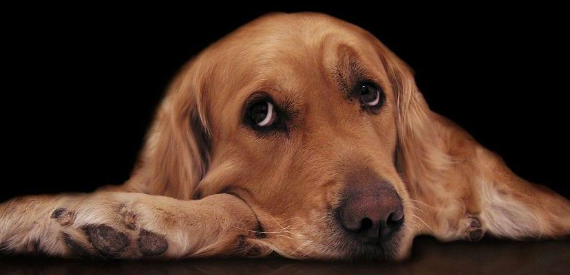 Perro tumbado en el suelo con expresión triste..