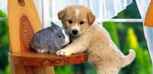 Cachorro de Labrador con conejo.