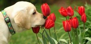 Labrador oliendo flores.