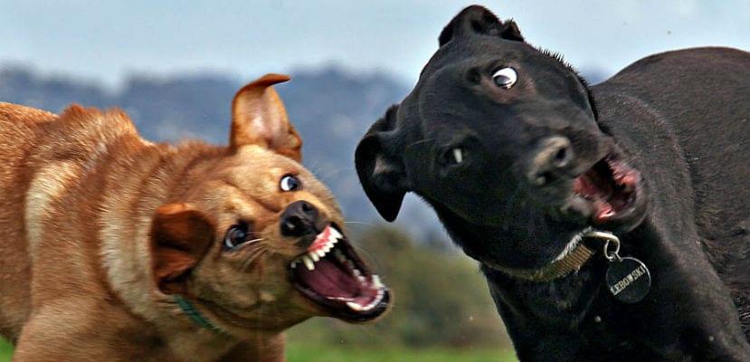 Dos perros ladrándose.