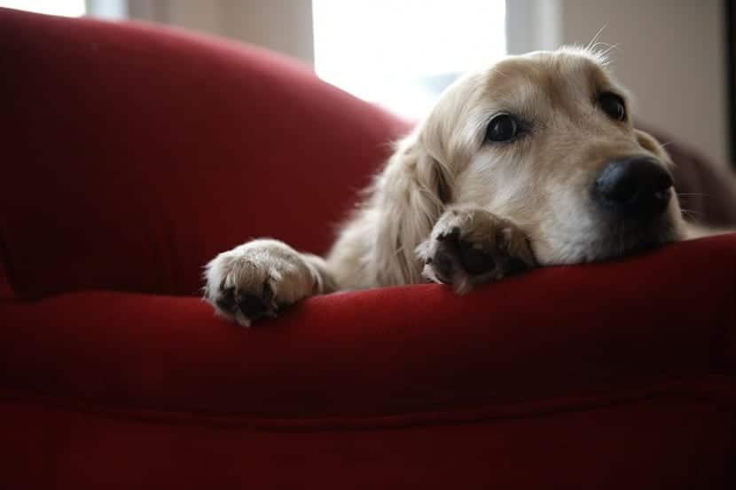Tratamiento de perro con cólicos