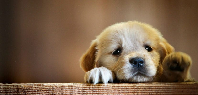 Cachorro de Golden Retriever.