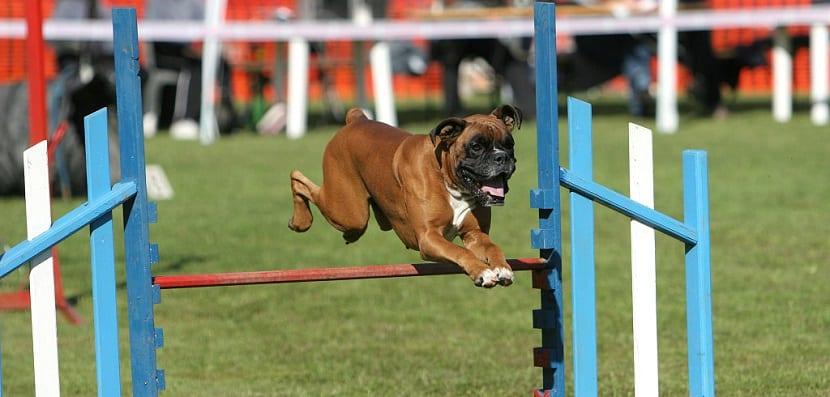 Pro Plan P5 Dog Training