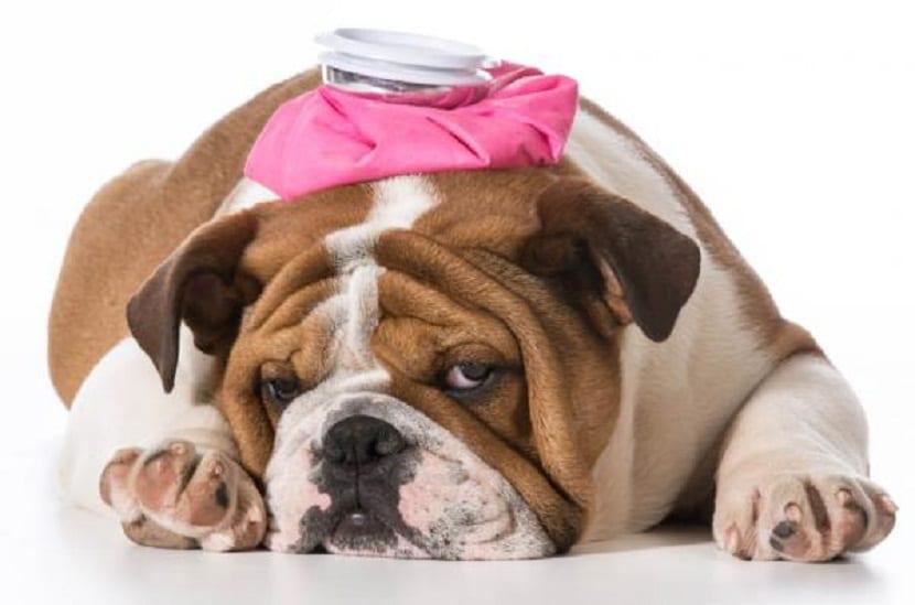 sintomas de colico en perros