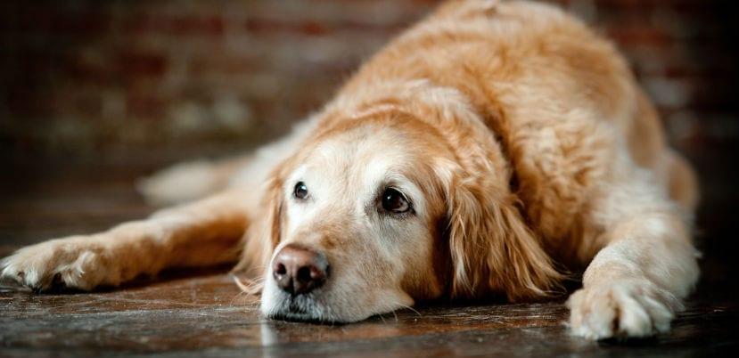 Perro adulto tumbado en el suelo.