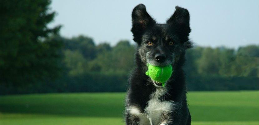 Perro corriendo en el campo con una pelota.