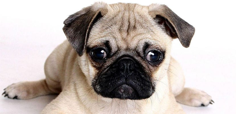 Carlino o Pug.