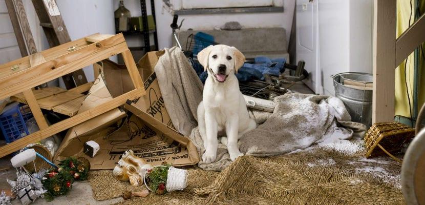 Labrador rodeado de objetos destruídos.