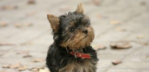 Cachorro de Yorkshire Terrier.