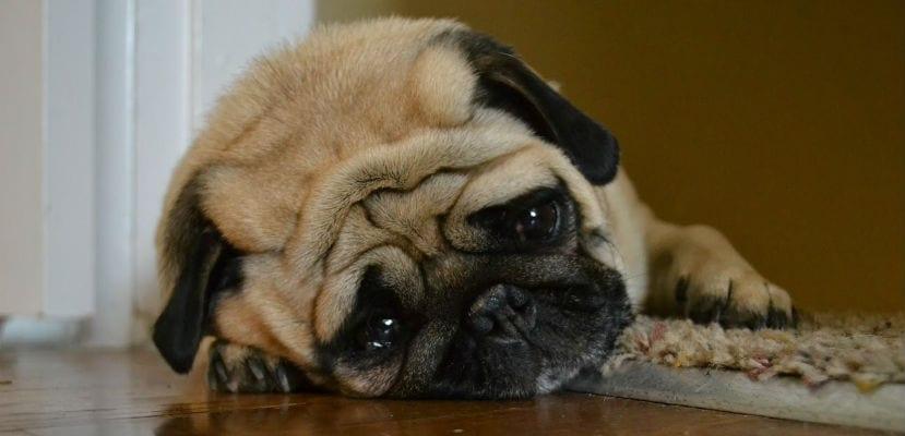 Carlino o Pug tumbado en el suelo.