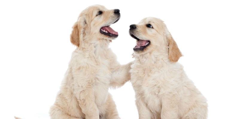 Cachorros de Golden Retriever.
