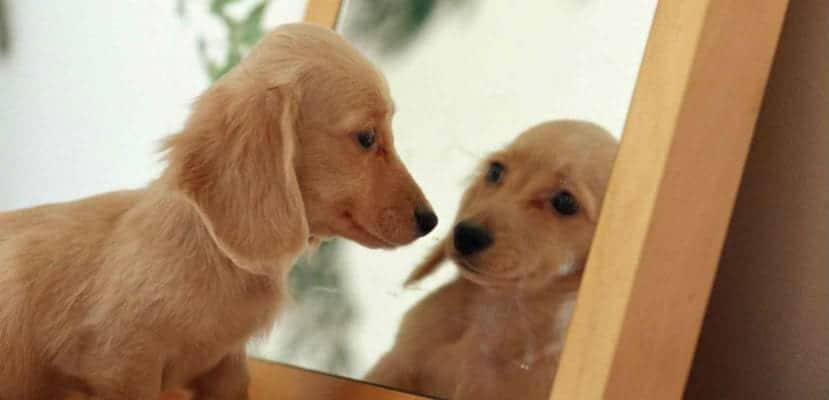 Labrador mirándose en el espejo.