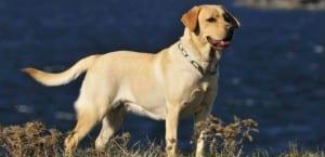 Labrador Retriever en el campo.