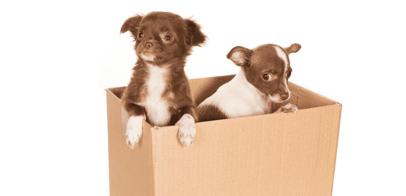 Perros metidos en una caja.
