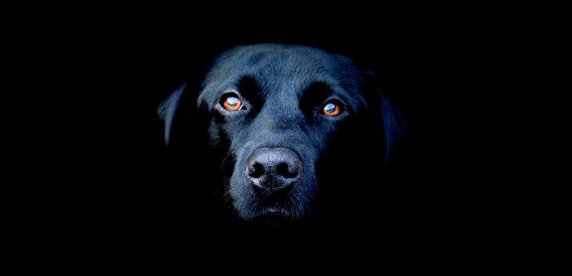 Perro negro.